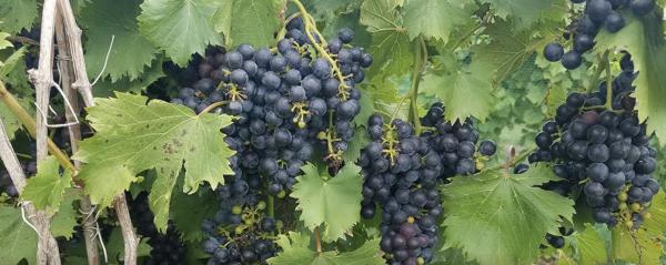 Sugar Creek Vineyard and Winery